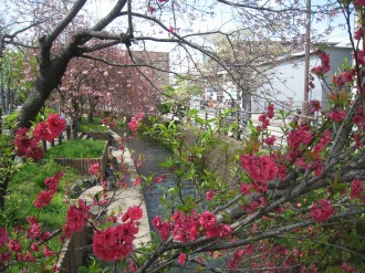二ヶ領用水の桃の花(南部沿線道路北側)
