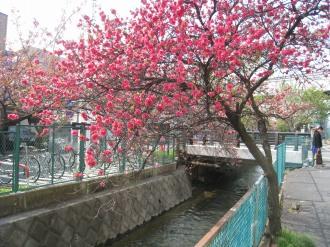二ヶ領用水の桃の花(南部沿線道路南側)