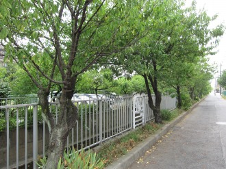 二ヶ領用水の桃並木