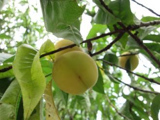 二ヶ領用水の桃の実