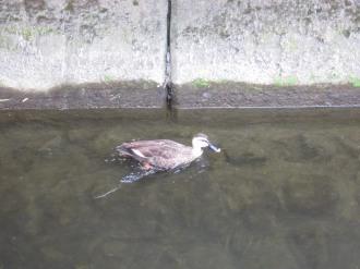 二ヶ領用水の鴨