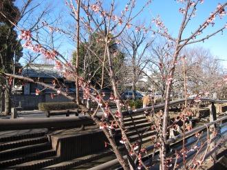 二ヶ領用水の寒桜