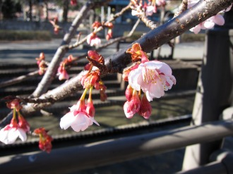 寒桜の花弁