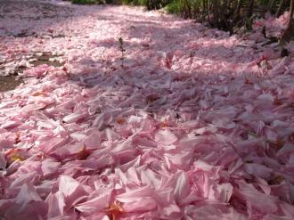 八重桜の花びらの絨毯