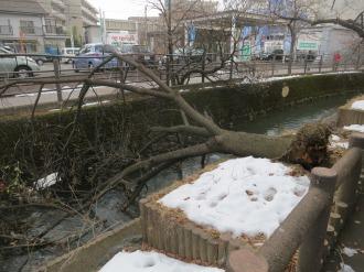 二ヶ領用水で倒れた八重桜