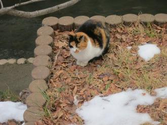 二ヶ領用水の三毛猫