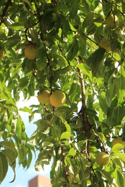 案内サインそばの桃の実