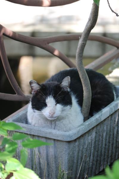 渋川の鉢植え猫