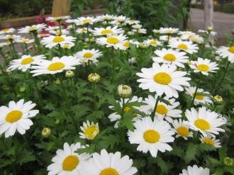 パークシティ武蔵小杉公開空地の花々