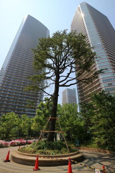 伐採前、倒木の危険が懸念されたヒマラヤスギ
