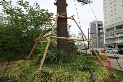 ヒマラヤ杉の倒木防止