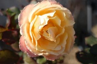 一部咲いたバラの花