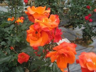 さまざまな品種のバラ