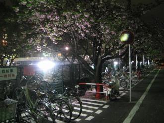 駐輪場の八重桜ライトアップ
