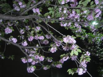 ライトアップされた八重桜