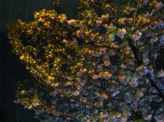 照明の色に染まる八重桜
