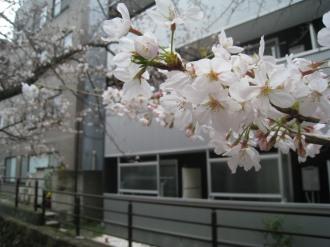 ソメイヨシノの花弁