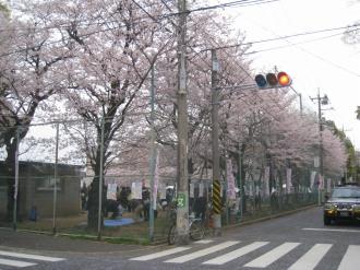 日本医大グラウンド周囲の桜