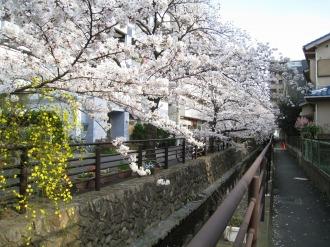 2010年の二ヶ領用水の桜