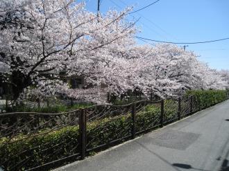 2010年の渋川の桜