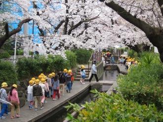 渋川でお花見をする今井小学校の生徒たち