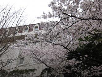 ホテル精養軒のソメイヨシノ