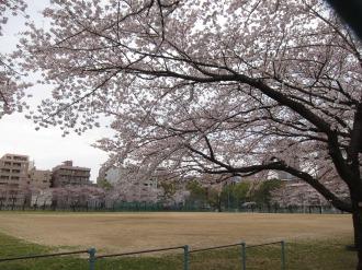 日本医科大学グラウンドのソメイヨシノ