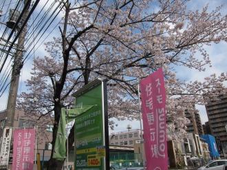 SUUMO住宅展示場武蔵小杉のソメイヨシノ