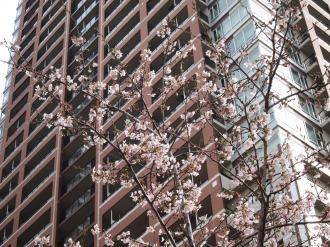 THE KOSUGI TOWERのソメイヨシノ