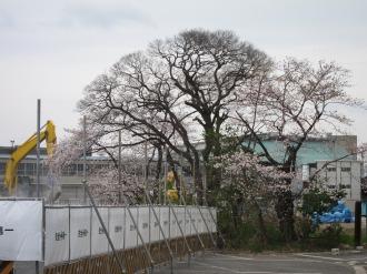 武蔵小杉駅南口地区東街区のソメイヨシノ
