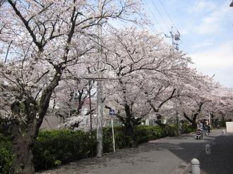 2011年の渋川の桜
