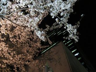 武蔵小杉タワープレイスの夜桜