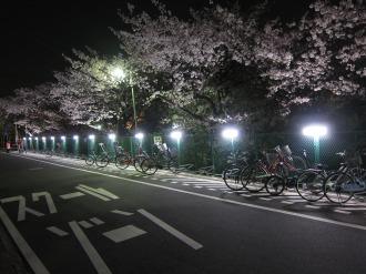 渋川沿いの駐輪場の夜桜
