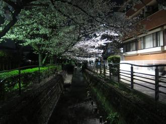 二ヶ領用水・今井神社付近の夜桜