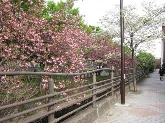 八重桜とハナミズキ