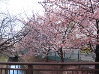 二ヶ領用水・南武沿線道路付近の寒桜