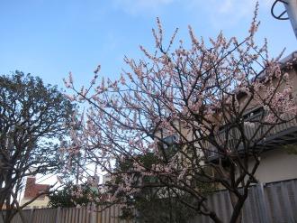 総合自治会館の梅の木