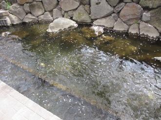 渋川を流れる花びら