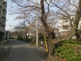 渋川のソメイヨシノ