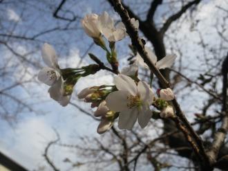 開花したソメイヨシノ