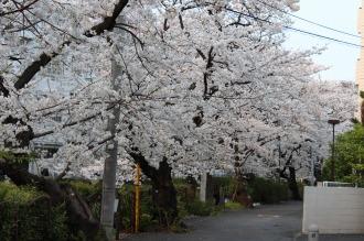 沿道から見た渋川のソメイヨシノ