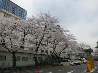 日本医科大学武蔵小杉病院のソメイヨシノ