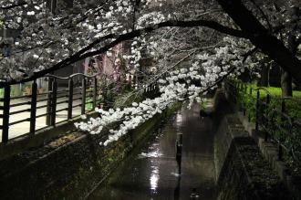 二ヶ領用水の夜桜