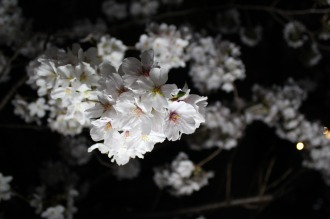 照明に照らされた夜桜