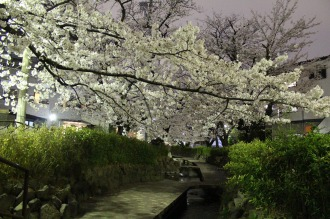 渋川の夜桜