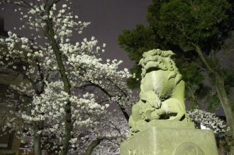 今井神社の狛犬とソメイヨシノ