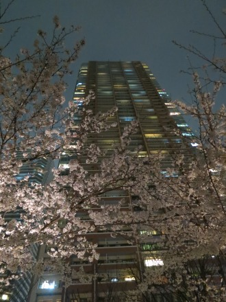 THE KOSUGI TOWER公開空地の夜桜