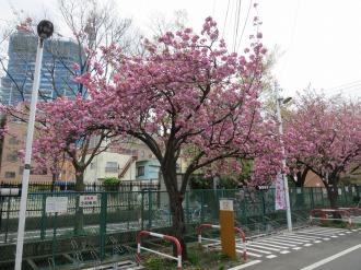 渋川との分岐点付近の八重桜