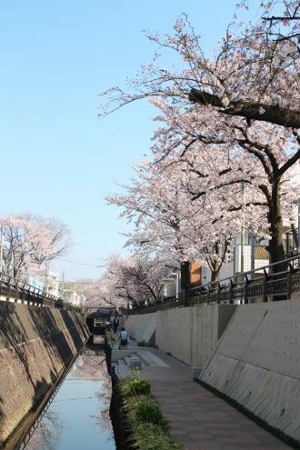 渋川の親水遊歩道とソメイヨシノ