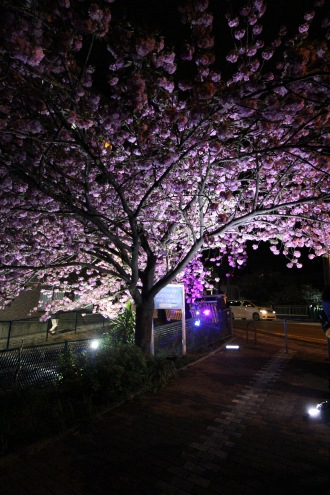 二ヶ領用水の八重桜ライトアップ